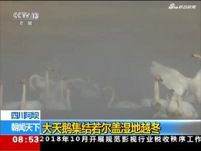 《朝闻天下》四川阿坝:大天鹅集结若尔盖湿地越冬