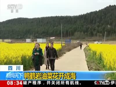 《朝闻天下》四川:鸭鹤岩油菜花开成海