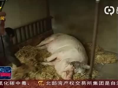 视频丨猪坚强12岁了 相当于人类90多岁