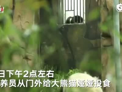 高龄大熊猫被粗暴对待:粗暴喂食、竹笋直接往身上甩