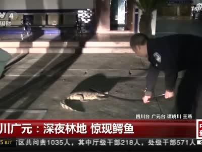 视频丨四川广元:深夜林地现鳄鱼