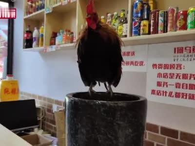 """成都一火锅店柜台上养活鸡""""招财"""""""
