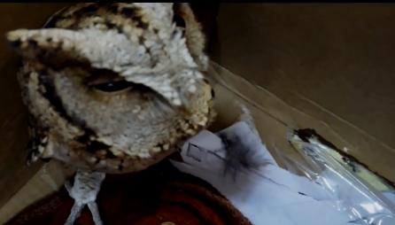 市民凌晨把一只猫头鹰宝宝送到四川米易民警手里