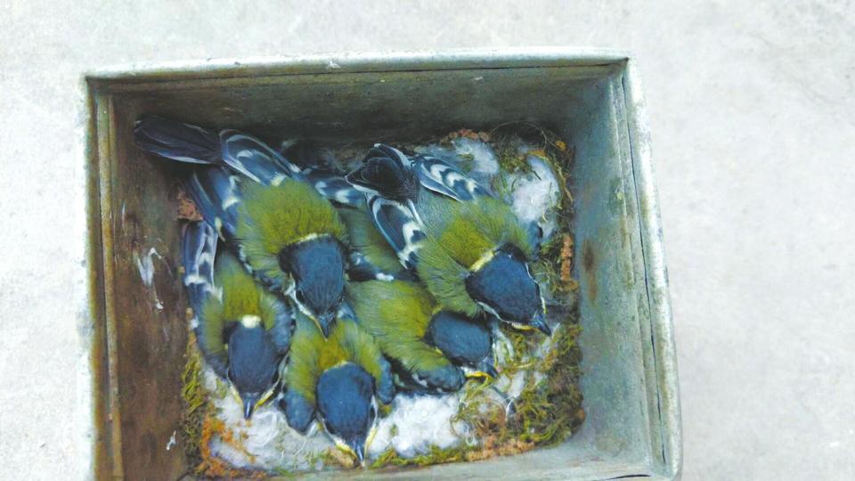 广元景区垃圾桶成鸟妈妈产房 工作人员照看一个多月