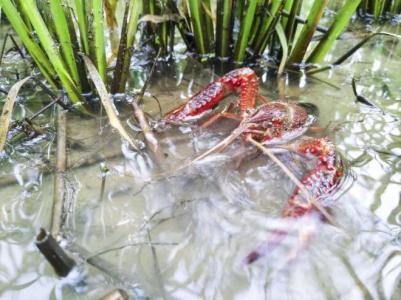 吃货们知道吗 火得不像样的小龙虾九成不是四川籍