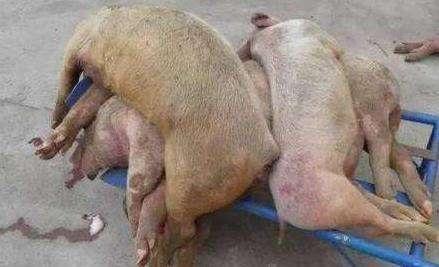 四川若尔盖县排查出非洲猪瘟疫情