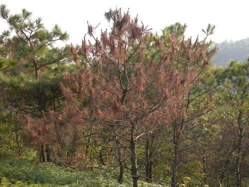 四川公布林业有害生物疫区名单 6种疫病分布一目了然
