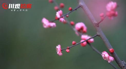 梅花在这单调的冬天里,悄然绽放。