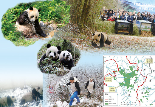 今后十年 四川将再建一个大熊猫野化放归地