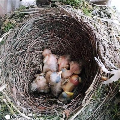 """真有爱!成都这家人为鸟儿孵化""""腾地方"""""""