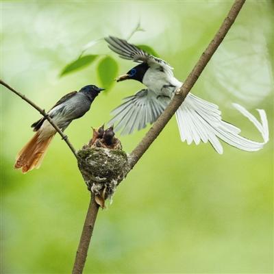 去年,寿带鸟育雏 摄影:华西老唐