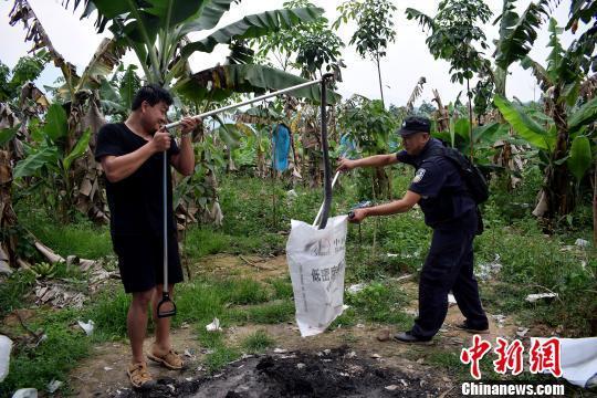 三条眼镜王蛇泼水节闯入香蕉地工棚凑热闹 被擒获