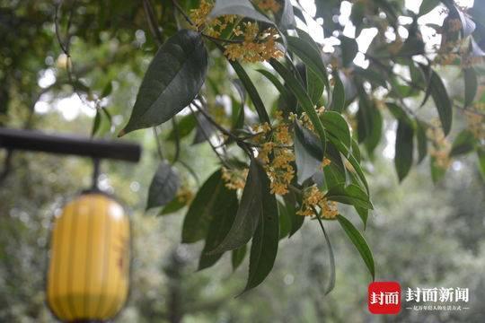 10余棵百年桂树三苏祠飘香 最大一棵树龄有700余年