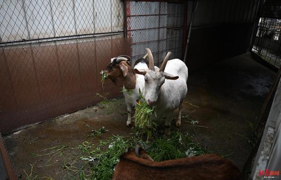 ↑叶大姐收养的羊。