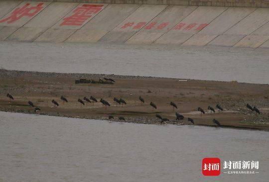 南飞迁徙高峰期到 54只黑鹳扎堆现身四川炉霍鲜水河