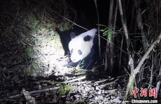 疑似生病的野生大熊猫 雅安警方 供图