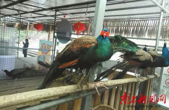 迷路的孔雀(前排左一)被送到了野生动物园