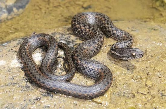 四川学者发现东亚腹链蛇新品种 以盐边县命名