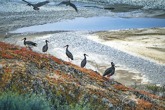 """上百只鸟中""""大熊猫""""黑鹳,再现炉霍县湿地公园。益西次里 摄"""