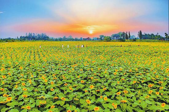 2018年8月,中国天府农博园千亩向日葵花海陆续绽放,营造出迷人的梦幻色彩,成为夏日里一抹靓丽的风景。新津县委宣传部供图