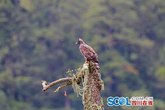国家二级保护动物鹰雕
