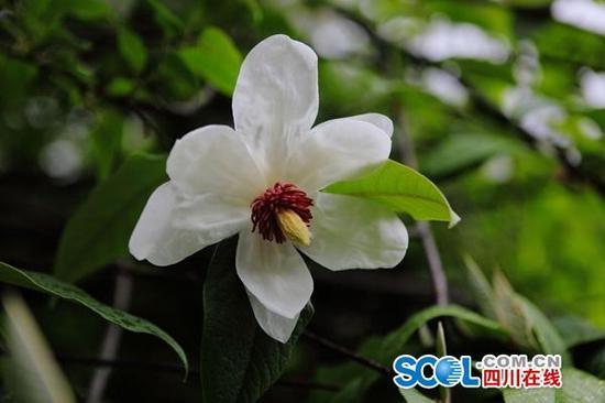 国家二级保护植物西康木兰