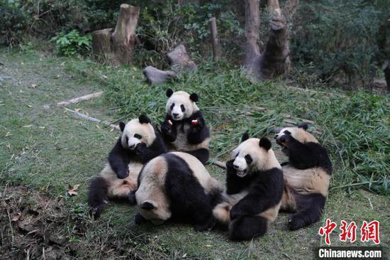 成都大熊猫繁育研究基地的大熊猫。成都大熊猫繁育研究基地供图