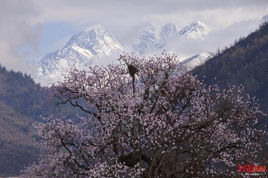 8年前种下濒危植物康定木兰 如今在四川贡嘎山景区开花