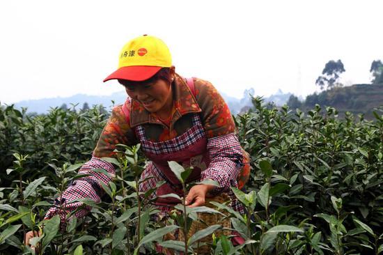 白茶市场接近饱和?沙湾鲜叶150元每斤