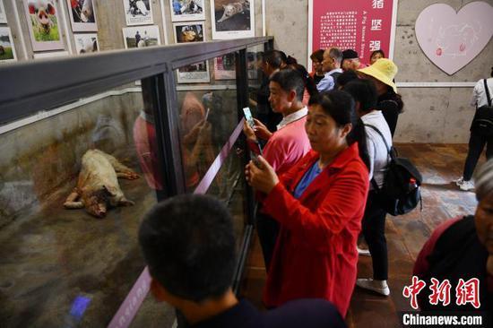 """游客看望""""猪坚强""""。(资料图) 张浪 摄"""