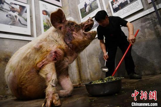 """专职饲养员龚国成正在为""""猪坚强""""喂食。(资料图)"""