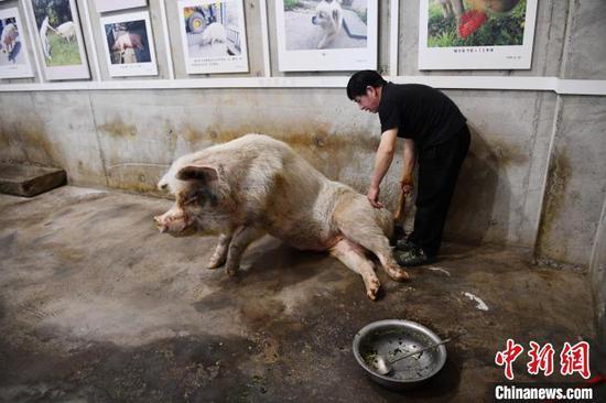 """专职饲养员龚国成正在为""""猪坚强""""喂食。(资料图) 张浪 摄"""