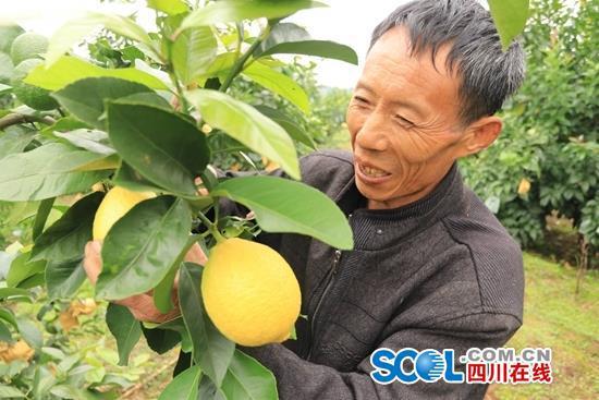 柠檬远销俄罗斯助农增收 南充这个村成功摘帽