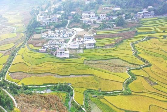 丰收节特写:四川水稻的三千年基因