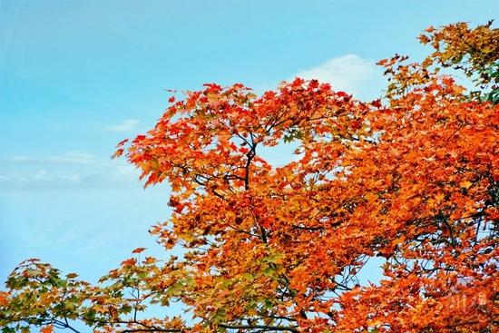 四川2021年度第一期红叶观赏指数发布,周末约起