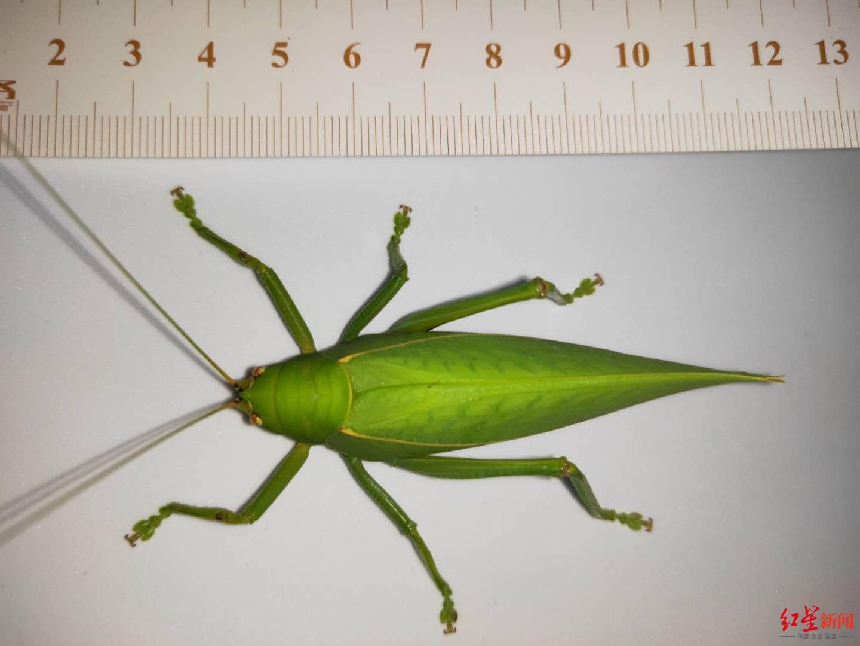 青城山发现全身通绿超大帅蝈蝈 专家:长8厘米系四川最大蝈蝈