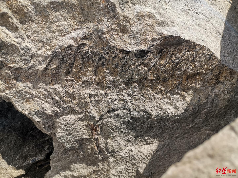 宜宾现远古化石 专家初步鉴定为娃娃鱼祖先或属侏罗纪时代