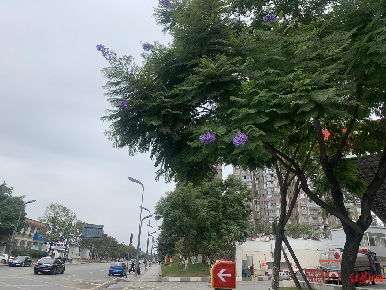 初冬过成了初夏?成都蓝花楹反季节开花 是小阳春骗了它