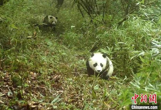 野生大熊猫母子。宝兴融媒 供图