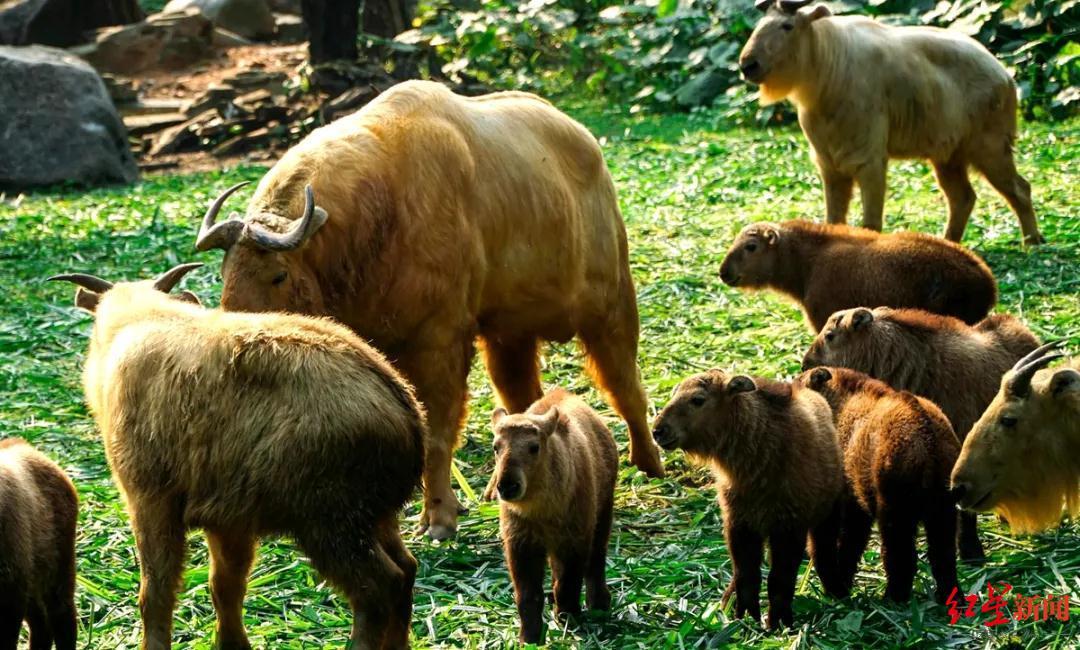 才出生几个月国家一级保护动物野生羚牛宝宝被杀害 嫌疑人被移