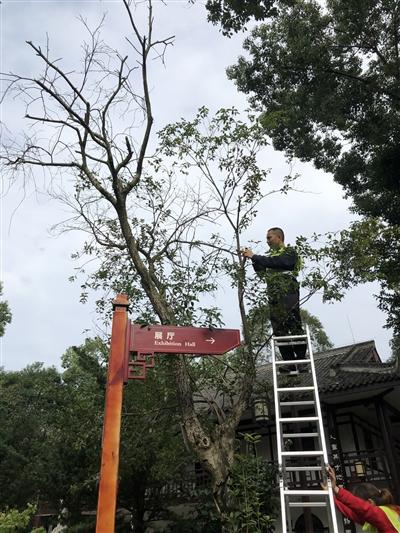 成都市绿化工程队对李劼人故居里的桂花树开展抢救工作