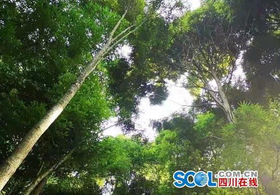 纳入保护了!川东北最大天然桢楠群有了护身符