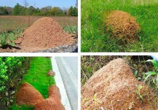 红火蚁巢穴。