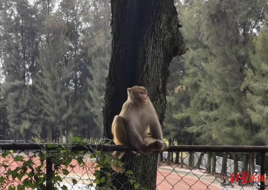 泸山猴子进入西昌学院南校区