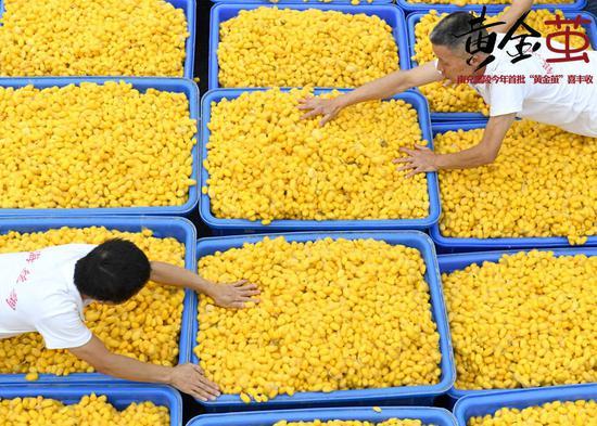 南充市嘉陵区一家丝绸企业,工作人员把晾晒好的黄金茧装框