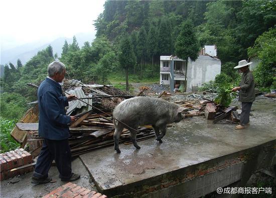 """5·12地震后10年又见猪坚强 猪坚强主人连说三个""""好"""""""