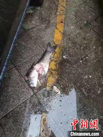 """""""寻短""""草鱼已身首分离。宜宾市叙州区警方 供图"""