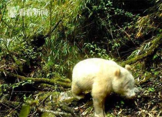 罕见!卧龙再次发布全球唯一白色大熊猫影像