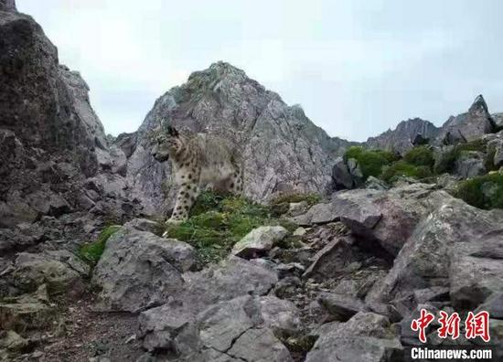 雪豹的影像资料。 四川王朗国家级自然保护区供图