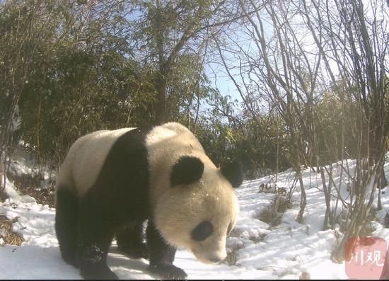 四川茂县土地岭多次拍到野生大熊猫活动踪迹